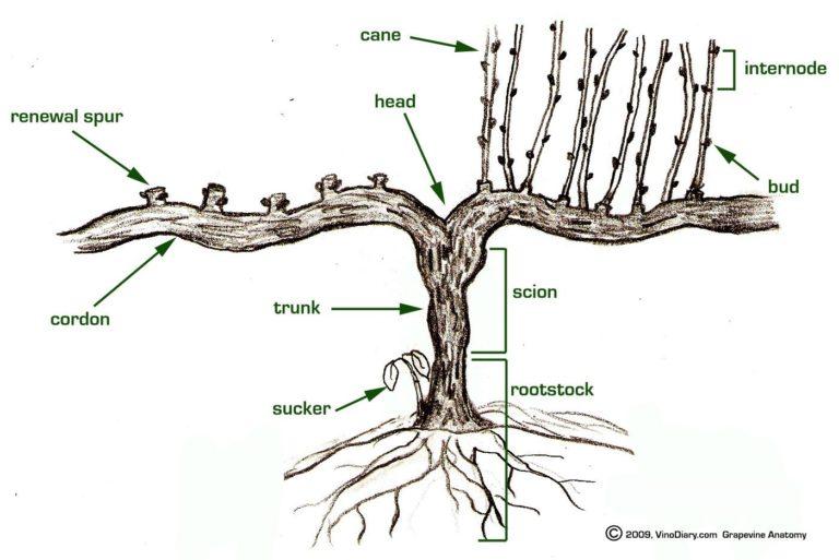 Basic grapvine diagram image