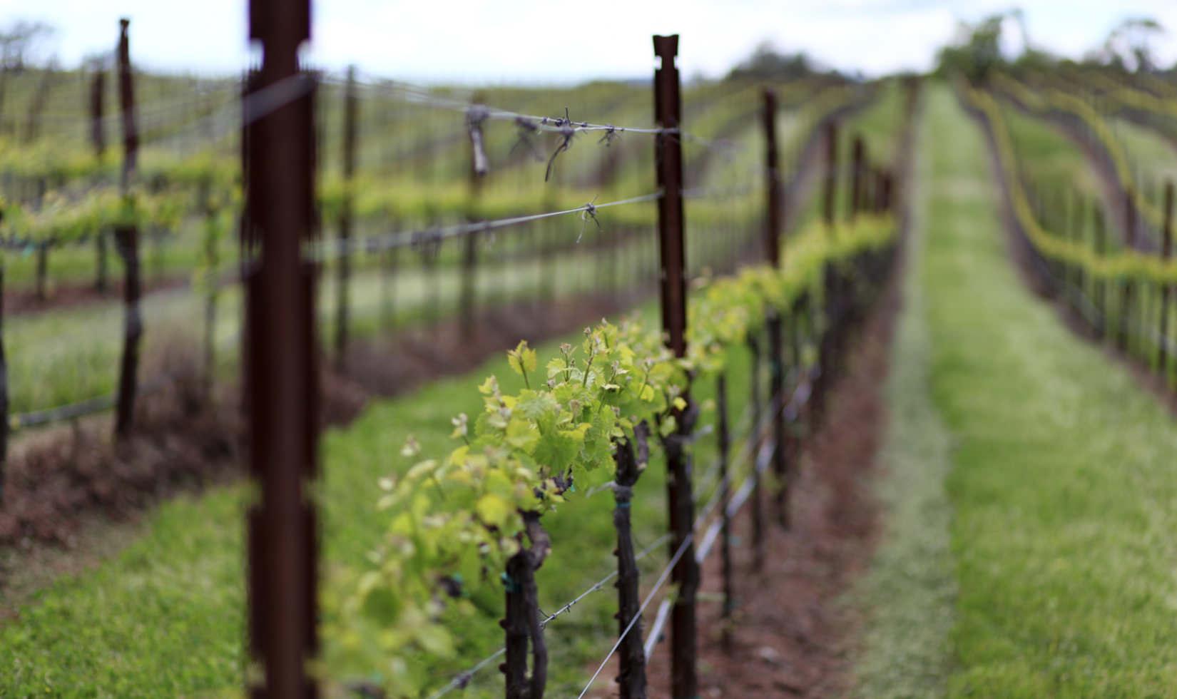 Vines beginning to bud