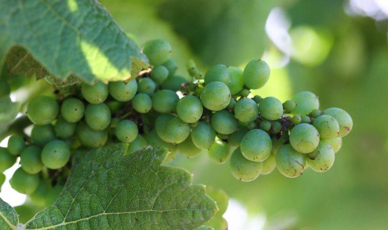 Close-up image of green Chardonnay grapes during fruit set.