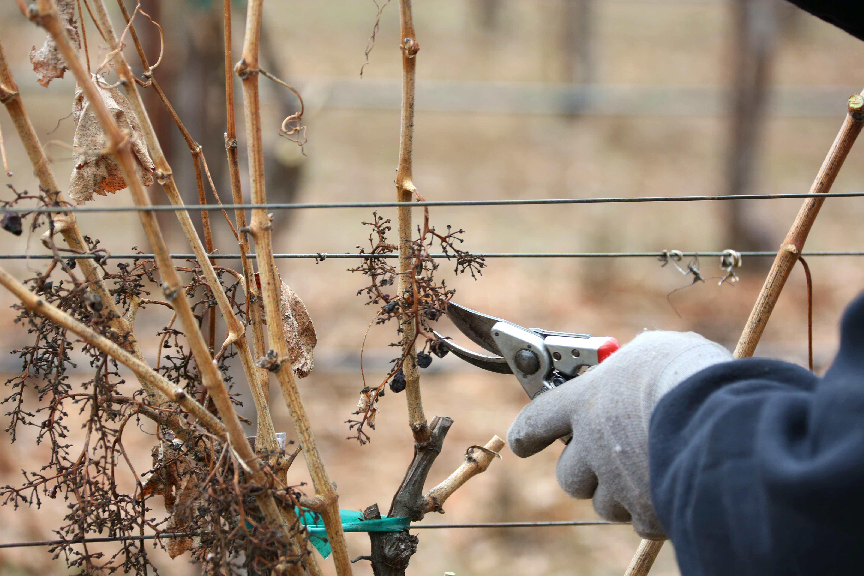 Grapevine pruning on the Jordan Estate.