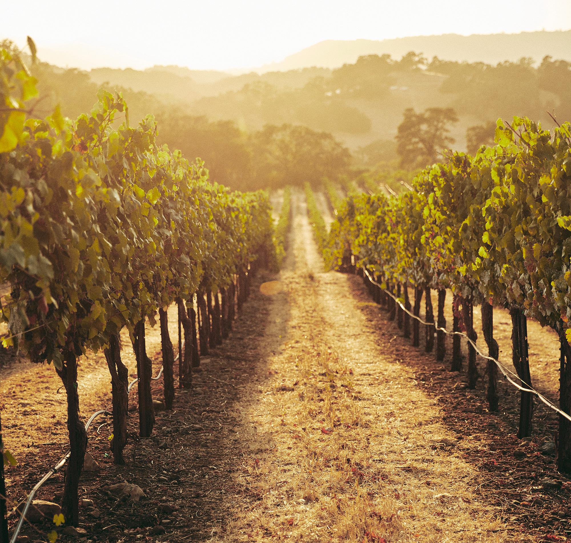 View down a vineyard row at Jordan Estate